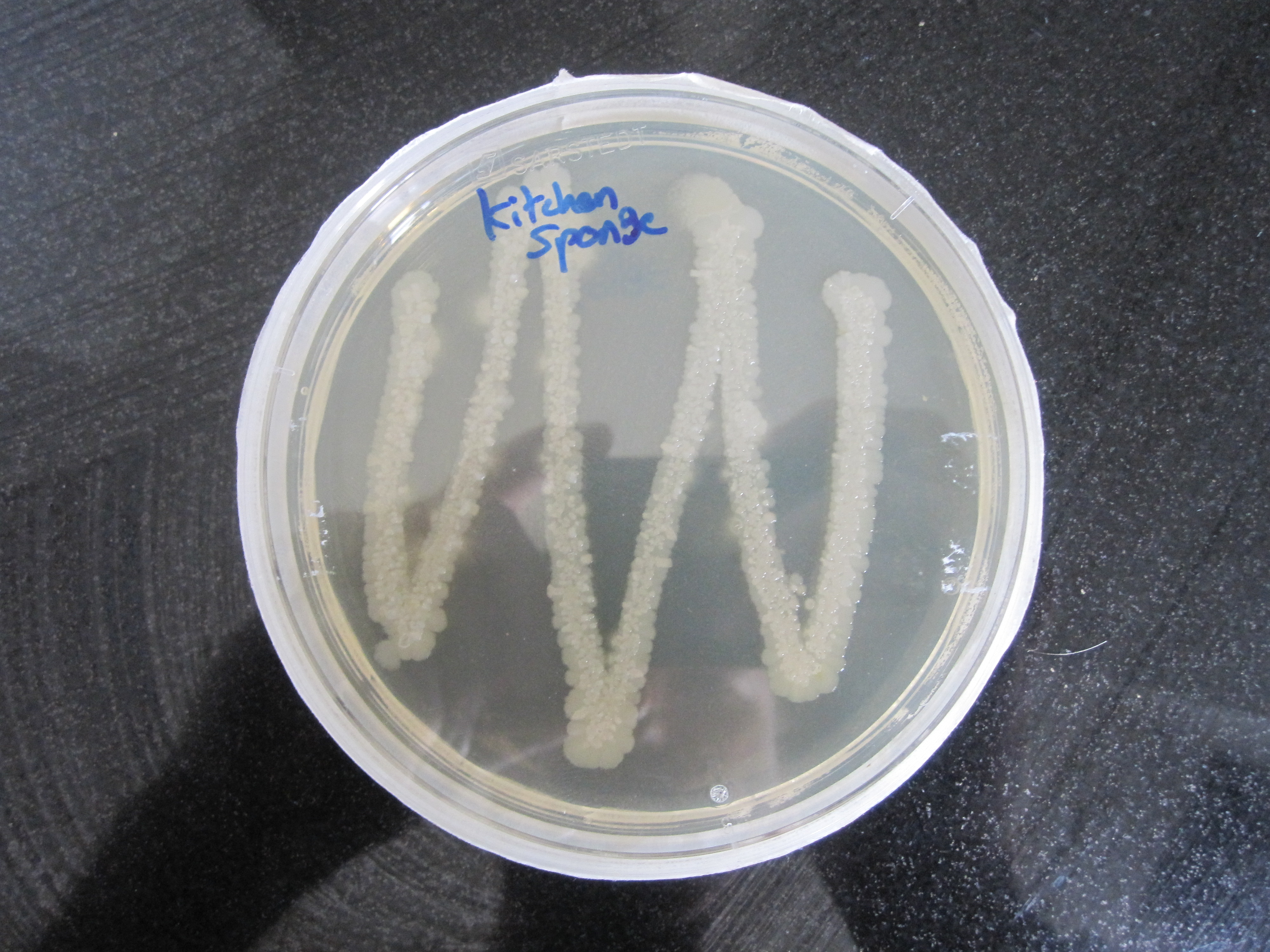Growing Manchester Bacteria2