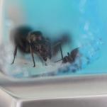 Ant Colony Vlog #3 10