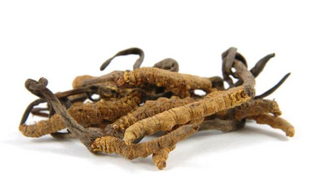 Cordyceps (a genus of ascomycete fungi) in isolated white background